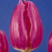 Тюльпаны Роуз Тендр
