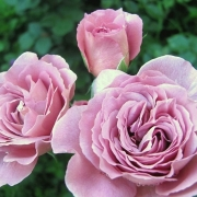 Розы Нимбус
