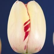 Тюльпаны Портофино