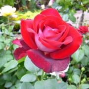 Розы Аллилуйя