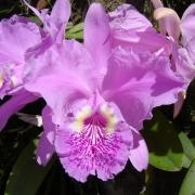 Комнатные растения Каттлея