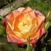 Розы Приу де Ст Косме