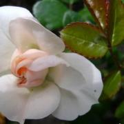 Розы Гэлэкси