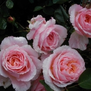 Розы Чауцер