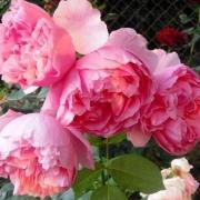 Розы Экарт Витзигманн