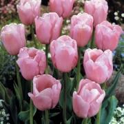 Тюльпаны Даймонд