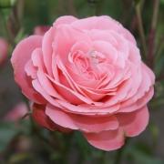 Розы Шакенборг
