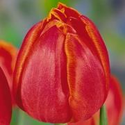 Тюльпаны Гранд Рапидс