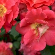 Розы Бажаззо