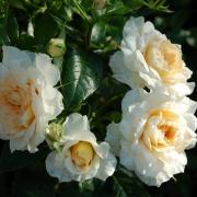Розы Надин Xелла-Рикки