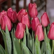 Тюльпаны Розамунде