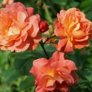 Розы Замбра
