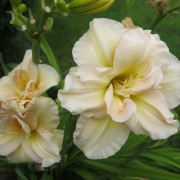 Daylily Double Dream