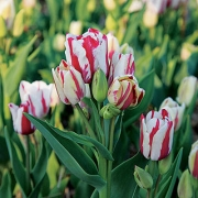 Тюльпаны Дрим Клаб
