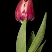 Тюльпаны Дабл Панки
