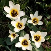 Тюльпаны Альбион Стар