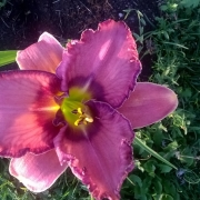 Daylily Mildred Mitchell