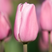 Тюльпаны Суингинг Уорлд