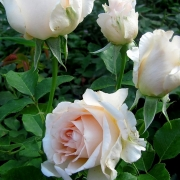 Розы Шампейн Селебрейшн