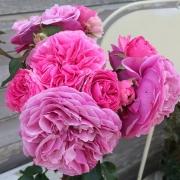 Розы Баронесса