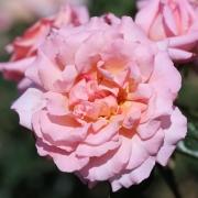 Розы Компашн