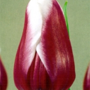 Тюльпаны Виктори Мэйд