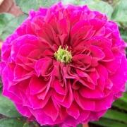Розы Просперо