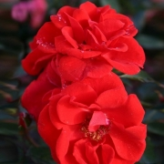 Розы Бриллант Корсар