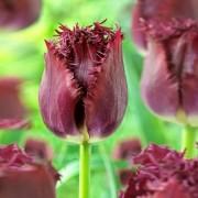 Тюльпаны Бульдог