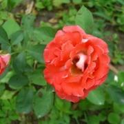 Розы Кэнди Раффлз