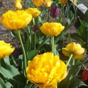Тюльпаны Голден Коин