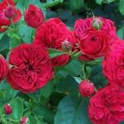 Розы Франсуа Рабле