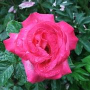 Розы Климентина