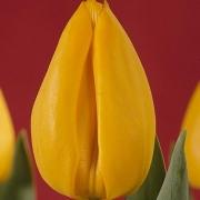 Тюльпаны Голдфингер