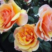 Розы Мартин дес Сентеурс