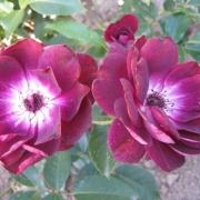 Розы Бургунди Айс
