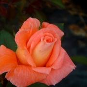 Розы Жанина