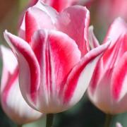 Тюльпаны Микки Чик