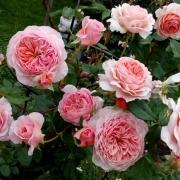 Розы Вильям Моррис