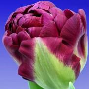 Тюльпаны Аликанте