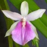 Комнатные растения Мильтония