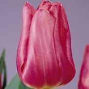 Тюльпаны Домино