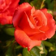 Розы Бенгали