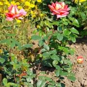 Розы Кроненбург
