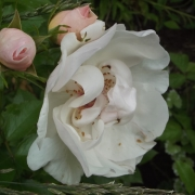 Розы Жаклин ду Пре