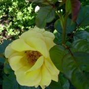 Розы Голдилокс