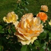 Розы Гарден Глори