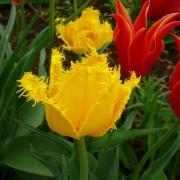 Тюльпаны Мон Амур