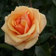 Розы Олимпик