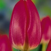 Тюльпаны Маркиз